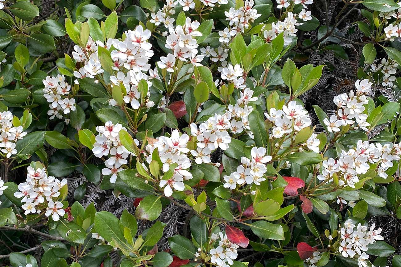 梅の花にも似たシャリンバイの花